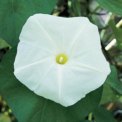 a white morning glory with green leaves and yellow center