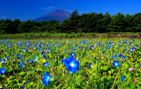 a field of blue morning glories with trees and a mountain in the background